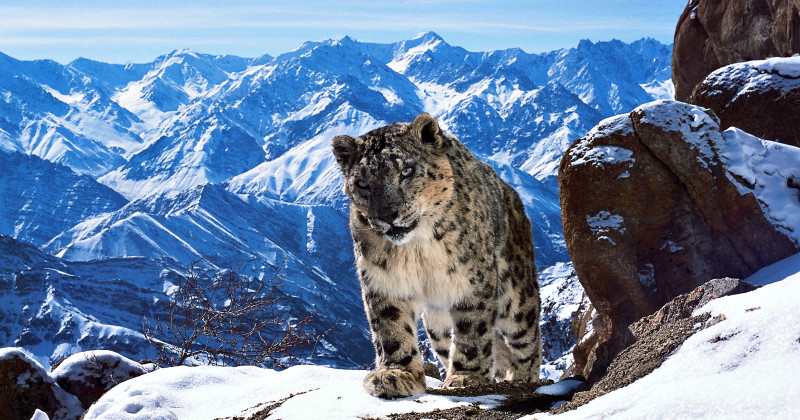 "Snöleopard i serien ""Planet Earth 2"" i SVT Play"